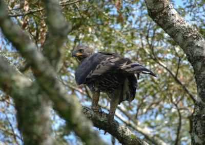 Crowned Eagle Stephanotus coronatus