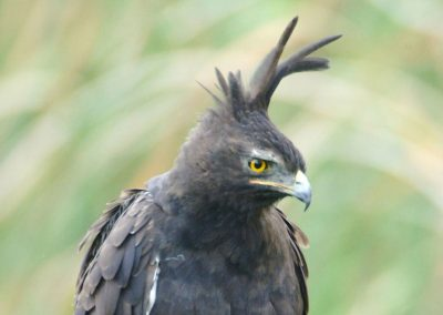 Long-crested Eagle Lophaetus occipitalis