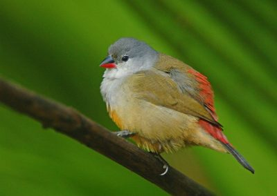 Yellow bellied Waxbill Estrilda quartinia
