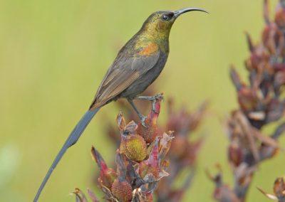 Bronzy Sunbird Nectarinia kilimensis