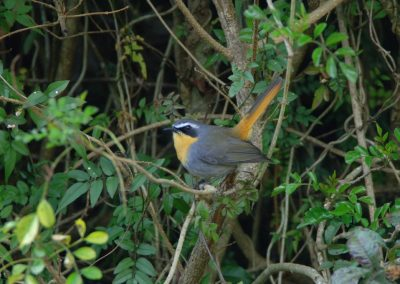 Cape Robin Cossypha caffra