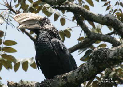 Silverycheeked Hornbill Bycanistes brevis