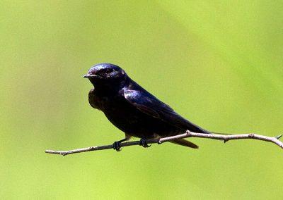 Blue Swallow Hirundo atrocaerulea